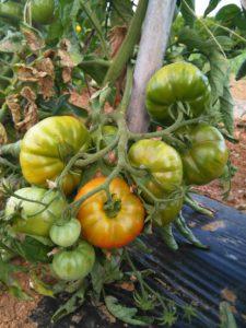 tomaques maig